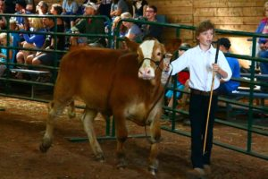 young fellow with calf 4H