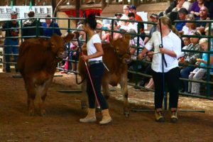 young ladies with calves 4H