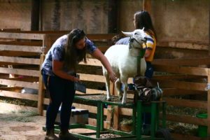4H ladies prep sheep for show